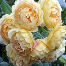 Английские розы селекции Дэвида Остина