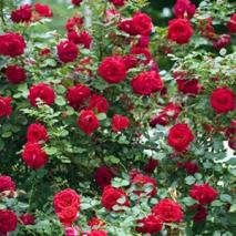 Кустовые, парковые розы