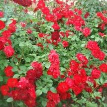 Роза шраб Crimson Meidiland