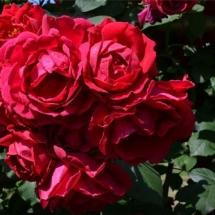 Роза плетистая Blaze Superior
