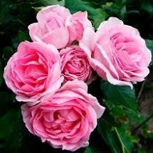 Роза шраб Ghita Renaissance