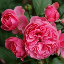 Роза флорибунда Leonardo de Vinci