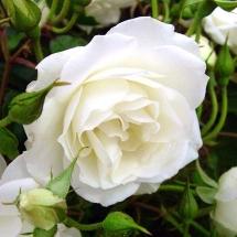 Роза флорибунда Iceberg (Schneewittchen)