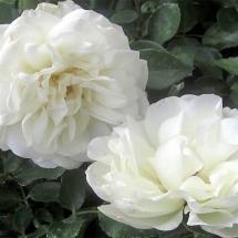 Роза почвопокровная White Meidiland
