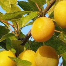 Слива Желтая крупноплодная