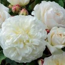 Роза английская (Austin) Tranquillity