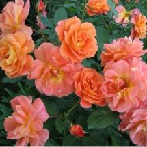 Роза шраб Westerland