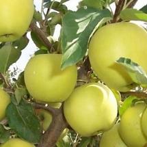 Яблоня Айнур (Зима)