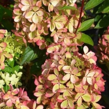 Гортензия метельчатая Pastelgreen