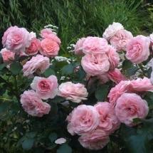 Роза флорибунда Maria Theresia