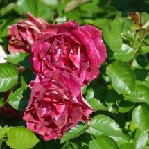 Роза флорибунда Let's Celebrate
