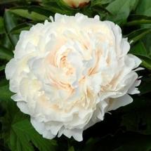 Пион молочноцветковый Solange