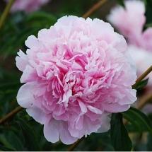 Пион молочноцветковый Albert Crousse