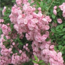 Роза мускусный гибрид Heavenly Pink