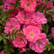 Роза шраб Ferdy