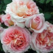Роза английская (Austin) Abraham Darby