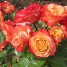 Роза флорибунда Bradford