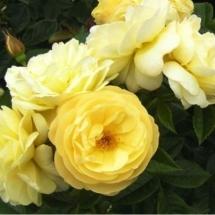 Роза почвопокровная Sonnensshirm