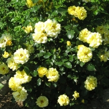 Роза плетистая Lucia