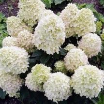 Гортензия метельчатая Cotton Cream