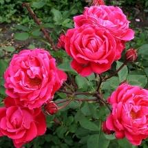 Роза шраб Alexander MacKenzie