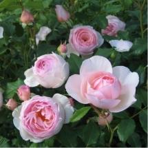 Роза английская (Austin) Heritage
