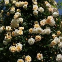Роза плетистая Ghislaine de Feligonde
