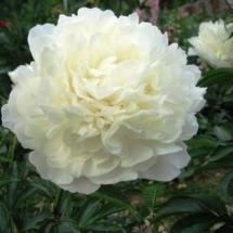 Пион молочноцветковый Marie Lemoine