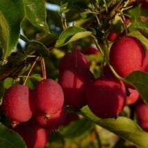 Яблоня Долго Китайка