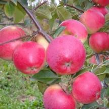 Яблоня Сябрына