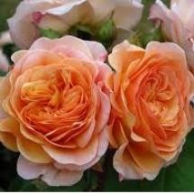 Роза английская (Austin) Charles Austin