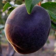 Абрикос Гибрид (слива-абрикос)