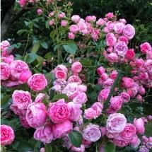 Роза флорибунда Pomponella