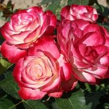 Роза флорибунда Jubile du Prince de Monaco
