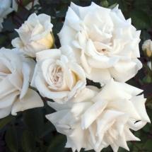 Роза Гибрид Ilse Krohn Superior