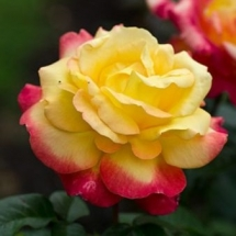 Роза чайно-гибридная Pullman Orient Express