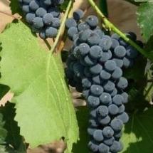 Виноград Амурский ранний
