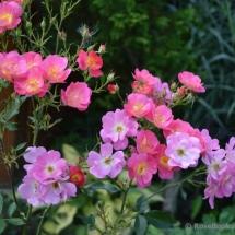 Роза флорибунда Beauregard