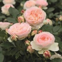 Роза флорибунда Pastella