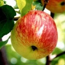 Яблоня Штрейфлинг лежкий