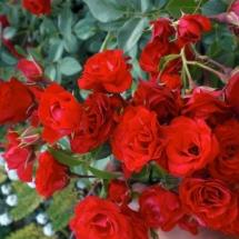 Роза шраб Scarlet Meillandecor