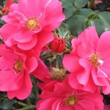 Роза шраб Sommermarchen