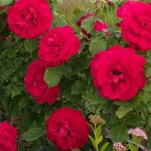 Роза флорибунда Fluorescent
