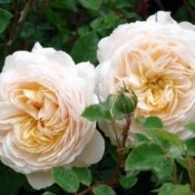 Роза английская (Austin) Crocus Rose