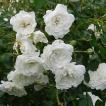 Роза шраб Alba Meillandecor