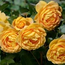 Роза английская (Austin) Golden Celebration