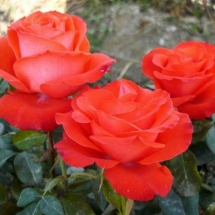 Роза шраб Angelique