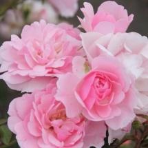 Роза шраб Bonica
