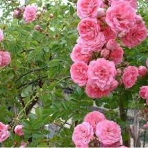 Роза плетистая Dorothy Perkins