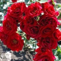 Роза плетистая Grand Hotel